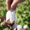 Biologisch organic katoen plukken