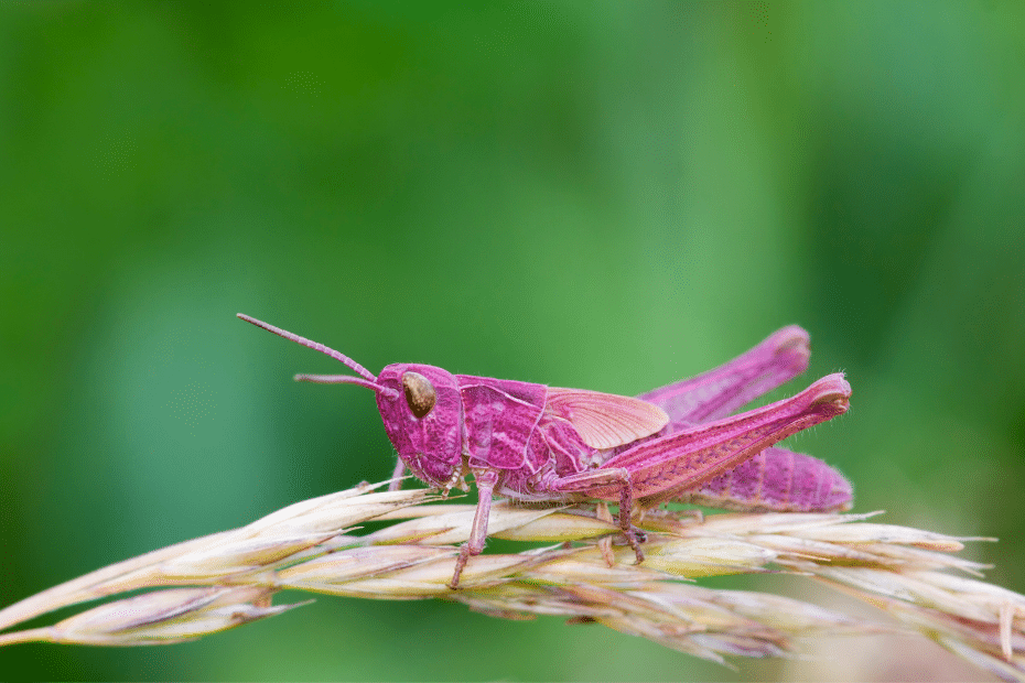 roze sprinkhaan